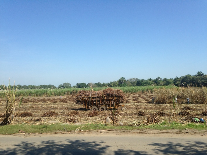 Burnt sugar cane being harvested in a nearby neighborhood.